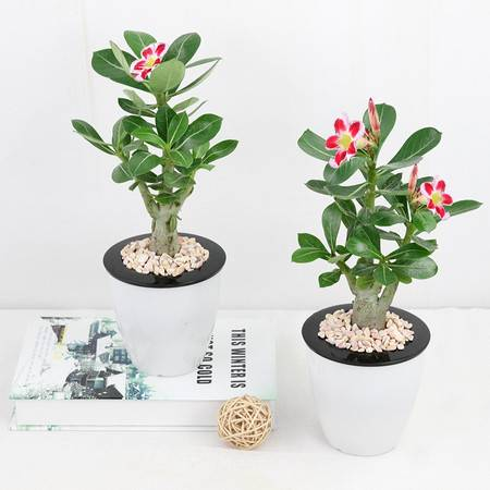 沙漠玫瑰_懒人园艺 沙漠玫瑰花卉盆栽绿植重瓣沙漠玫瑰苗四季绿植办公室盆栽观