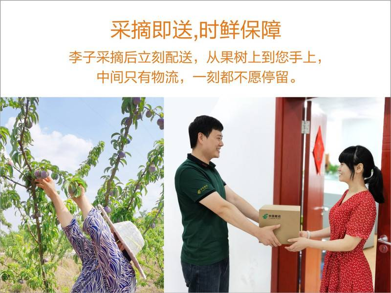 四川资阳凤凰李五月脆本地李子4斤装川渝包邮