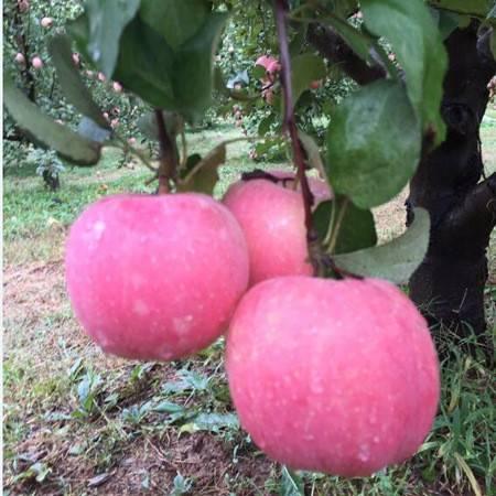 【北京馆】顺义斯托拉夫苹果整盒约5斤