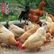 农户直供 纯天然新鲜正宗土鸡蛋
