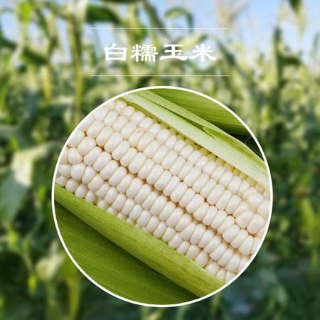 8穗新鲜玉米 现摘带皮白糯玉米 净重约5.5-6斤(8根)