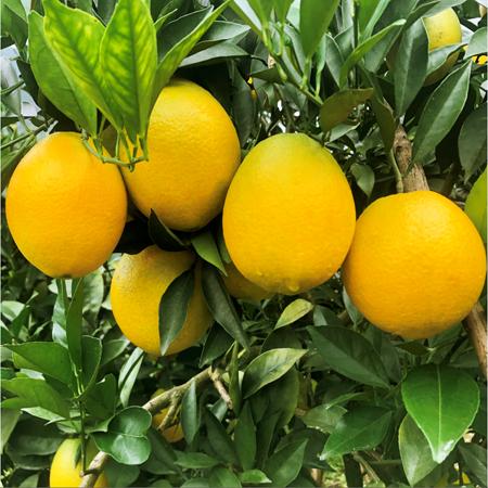 【德保脐橙】10斤实惠装  (三区、四区包邮)
