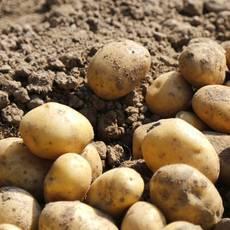 [石柱扶贫馆]  农家自产 新鲜高山马铃薯土豆洋芋五斤包邮