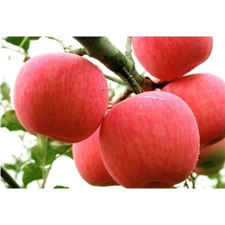 【邮政助农】农家自产 陕西麟游苹果红富士新鲜陕西特产水果 果径60脆甜多汁果园直发 10斤包邮