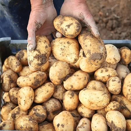【电商扶贫】湖北五峰高山小土豆2020新土豆产地直销洋芋马铃薯5斤装