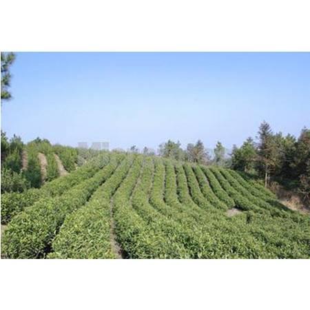 红安特色茶叶
