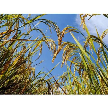 【稻香古城】2020新米林州特产正宗古城大米漳河大米5斤稻花香