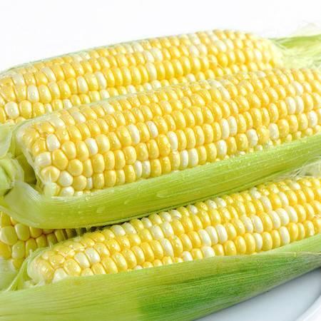 现摘水果玉米甜脆玉米甜玉米棒 新鲜玉米非糯玉米 3斤4-12个