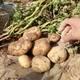 黄心土豆新鲜现挖10斤农家自种小土豆马铃薯东北大土豆洋芋批发