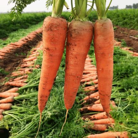 2020现挖现发农家新鲜胡萝卜红萝卜清脆甘甜非水洗产地直发