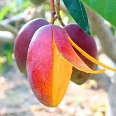 贵妃芒果新鲜水果3/5/10斤装芒果批发芒果红金龙小贵妃芒