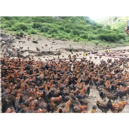 农家自产  【青海互助扶贫馆】山间放养土鸡,1只装(约1500克左右)包邮
