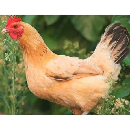 【清真】【青海·循化·扶贫馆】化青自产3斤装菜鸡、5斤装三黄鸡【销售区域仅限青海】