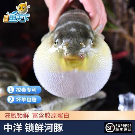中洋鱼天下河,豚鱼速冻河,豚鱼半成品150-200g/条生鲜水产