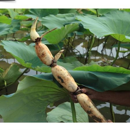 小稻民米 范县特产莲藕新鲜现挖5斤