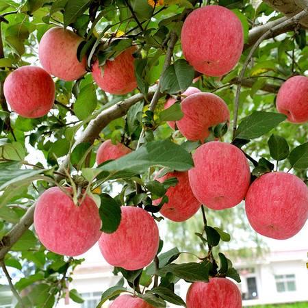 顶端果业【洛川苹果】陕西苹果水果新鲜苹果红富士6枚大果六六大顺