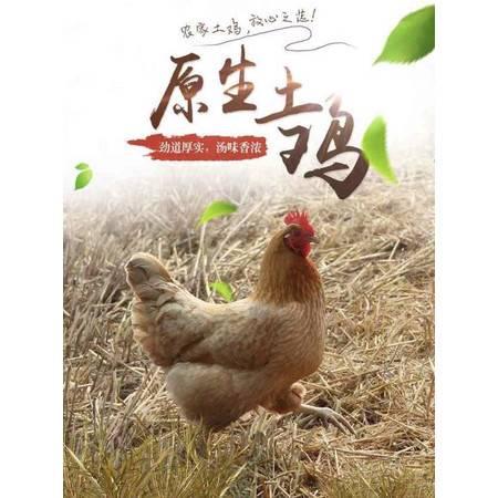农家自产 土鸡