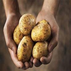 农家自产 现挖10斤新鲜优质马铃薯土豆小洋芋   【包邮】