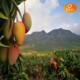 海南三亚开合树上熟贵妃芒果  全国大部分地区航空包邮