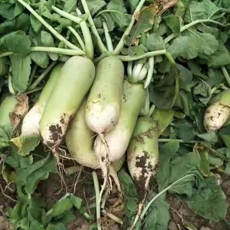 【衡水饶阳】农家自产 水果萝卜新鲜先挖萝卜脆甜青萝卜5斤装