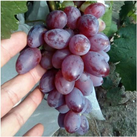 【衡水特色】农家自产 黑巴拉多葡萄新鲜葡萄黑提子饶阳葡萄 2斤装