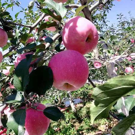 (灵寿县)灵寿县自产苹果