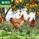【誉福园】农家林下散养蛋橘园散养土鸡蛋绿壳蛋礼盒多规格