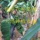 广西小米蕉  新鲜水果 新鲜香蕉现采现发
