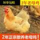 【领劵立减10元】【两只2年老母鸡】正宗2年土鸡农家散养老母鸡草鸡整鸡柴鸡鸡肉整只