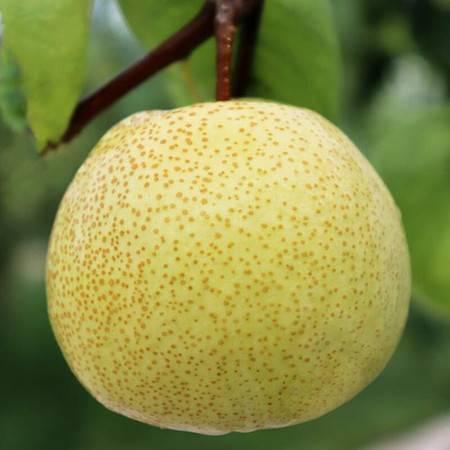 【10斤29.9】砀山梨子10斤新鲜水果白酥梨5斤百年梨树非皇冠梨青梨整箱包邮