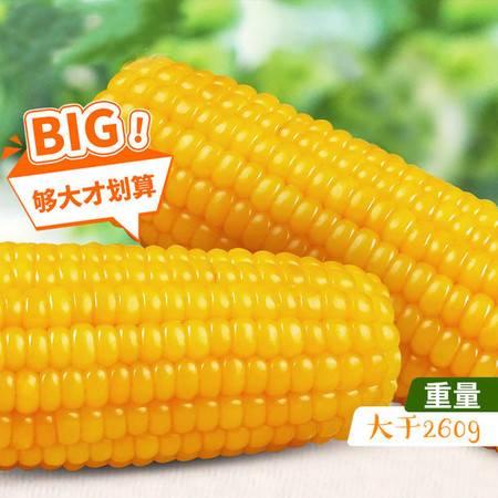 19年新东北糯玉米真空包装新鲜甜糯玉米即食黄白糯玉米棒4根-12根