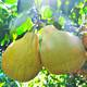柚见丘香正宗梅州金柚客家特产纯甜白肉柚子应季水果2个5斤礼盒装