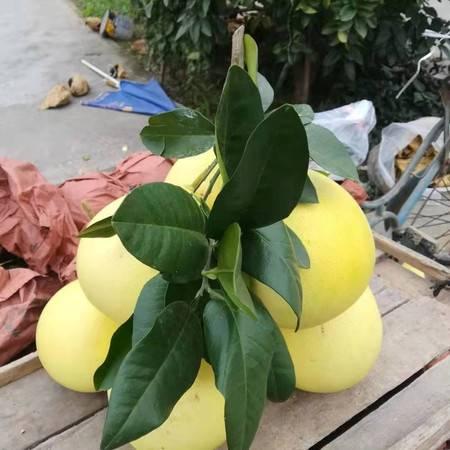 柚子 琯溪蜜柚 鄢家香柚 白心柚 非红心柚 白心香柚两个净重4一7斤【预售】