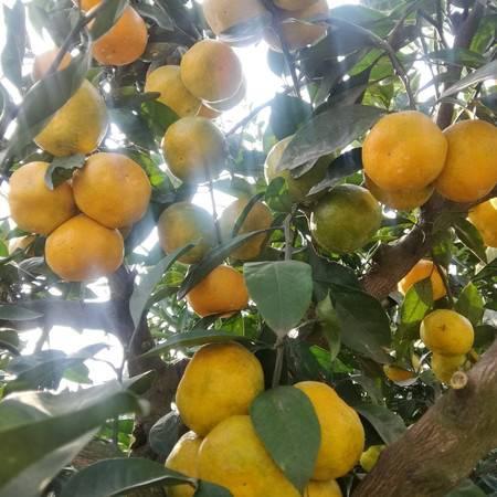 四川德阳罗江骑龙早熟蜜桔柑橘现摘现发甜味足略带果酸味孕妇水果好吃得不离口。【预售】