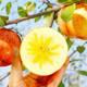 正宗新疆阿克苏冰糖心苹果新鲜红富士当季应季水果【属之味】